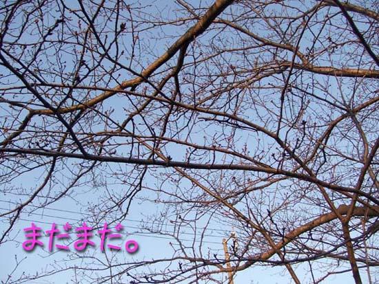 土手の桜。