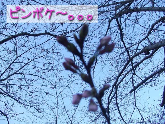 今日の桜。