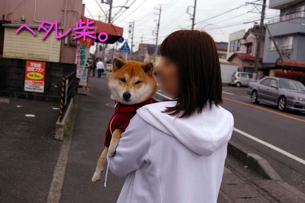抱っこをねだる柴犬マメ。