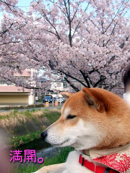 頭から桜。